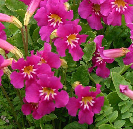 Инкарвиллеи можно выращивать в условиях Сибири
