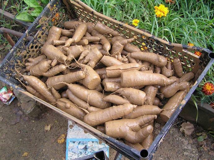Очень часто практикуется хранение моркови в глине