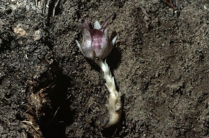 Длина растения – 8 сантиметров, корень толстый и короткий