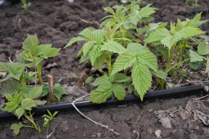 Полив малиновых кустов зависит от погодных и температурных условий