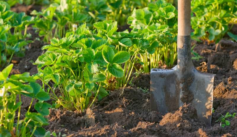 Секреты выращивания клубники гласят, что нельзя выращивать эту культуру на одном и том же месте более четырех лет подряд