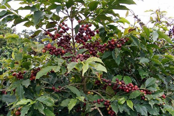 Кофейное дерево – это не только красивое, вечнозеленое дерево, которое прекрасно украсит вашу домашнюю оранжерею, но и принесет плоды, при условии правильного ухода