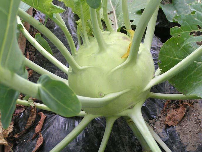 Получить крупные плоды кольраби удаётся только при использовании подкормок