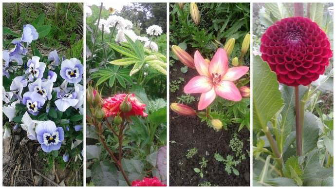 Много других цветов в моем цветнике: весной — тюльпаны, нарциссы, летом розы, ранункулюсы, гладиолусы, георгины и это еще не все