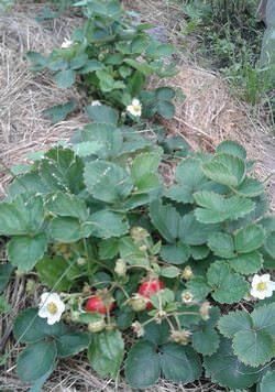 Любуюсь ремонтантной клубникой, сейчас август, а она вся в цветах и красных ягодах