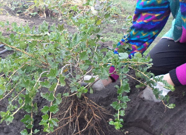 Для того чтобы иметь возможность свободно расправить корни растения нужно насыпать земельный бугорок