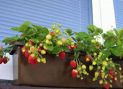 Садовую землянику можно выращивать круглый год
