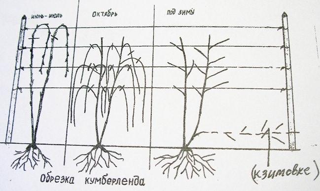 Очень важно следить, чтобы побеги черноплодной малины не опускались на землю, и проводить своевременную грамотную обрезку