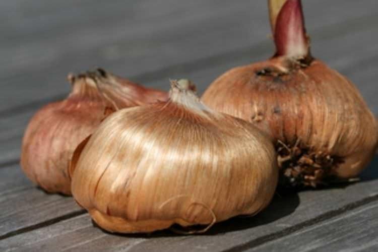 Для посадки луковицы гладиолуса должны соответствовать требованиям, предъявляемым к качественному посадочному материалу