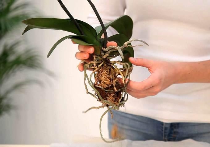 Для приготовления субстрата следует обратить внимание на характеристики орхидеи