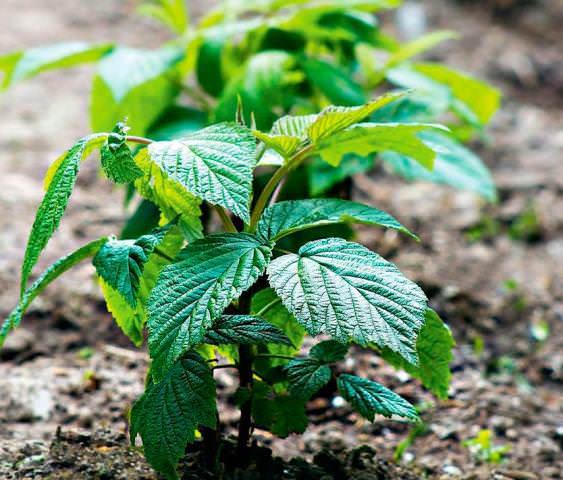 Уход за малиной весной является залогом хорошего и обильного урожая