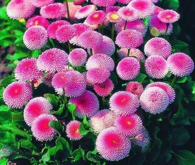 Маргаритки — это мелкие травянистые растения из семейства астровых