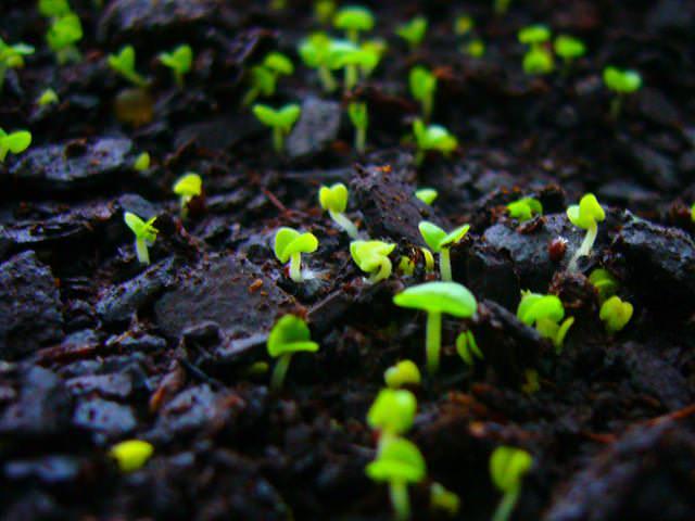 Если на участке эти цветы культивируются давно, то растения из семян могут появляться сами, в результате самосева