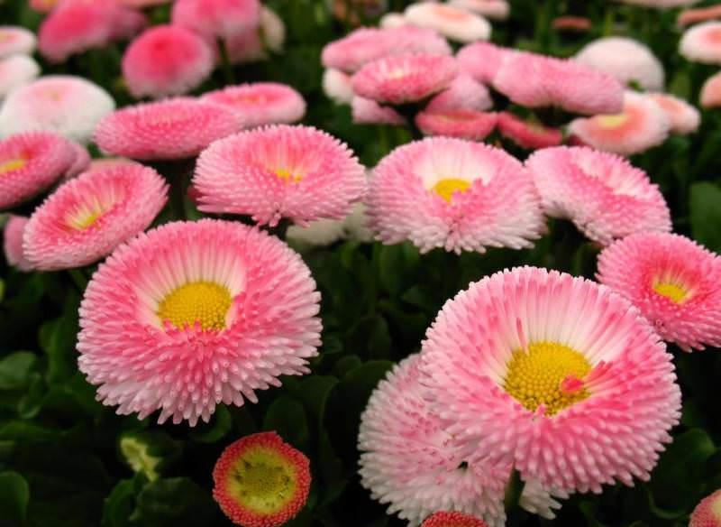 Если хотите, чтобы маргаритки подольше радовали вас обильным цветением, удаляйте периодически отцветающие соцветия