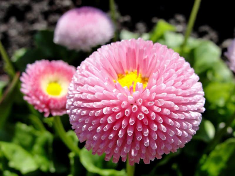 Небольшие, но пушистые соцветия отличаются особой эстетической ценностью и привлекают к себе внимание цветоводов