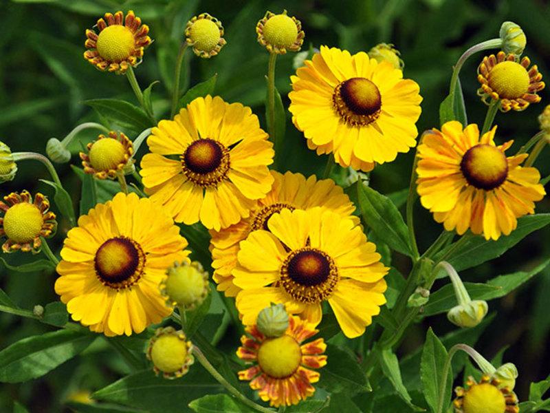 Многолетнее растение гелениум