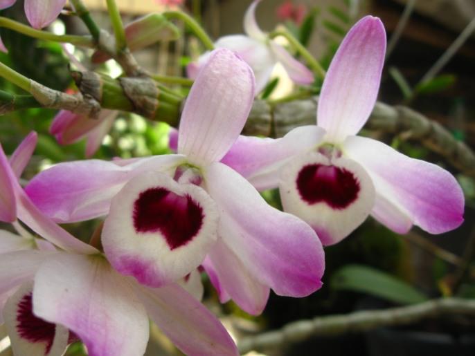 Заставить цвести орхидею Дендробиум помогает пересадка