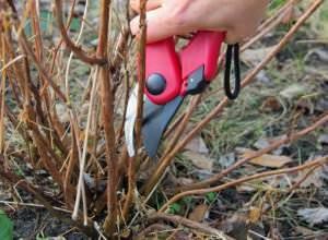 Очень важна правильная и своевременная обрезка малины весной