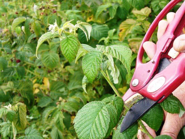 Огромное значение имеет правильная технология обрезки и формирования малинника в условиях приусадебного плодоводства для начинающих садоводов