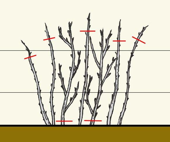 Растения, выращиваемые кустовым способом, формируются из пяти−шести наиболее сильных и хорошо развитых побегов