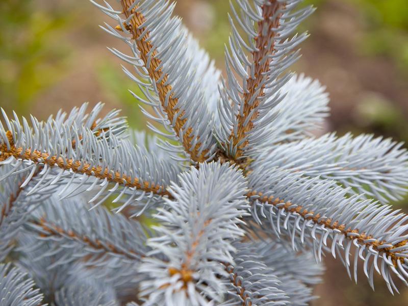 Описание хвойного дерева