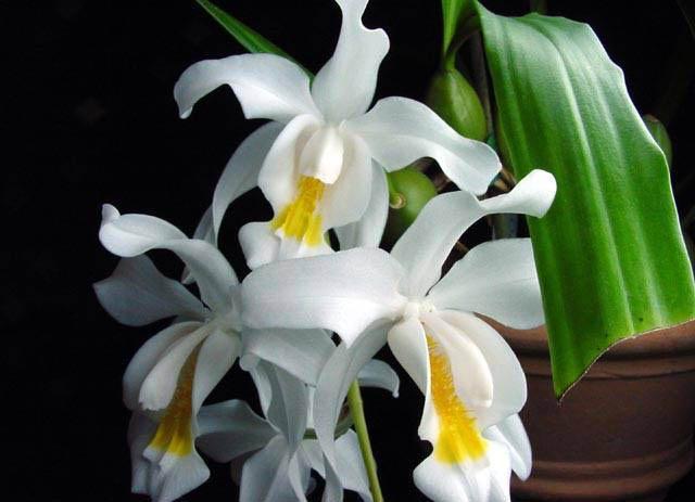 Этот вид растения при недостаточном освещении зимой не цветет и у многих экземпляров может наблюдаться засыхание цветоносов