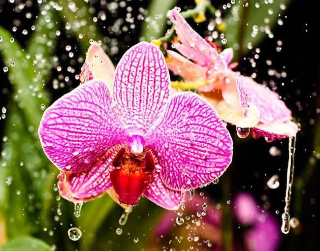 Кроме полива орхидеи, в домашних условиях следует регулярно осуществлять и опрыскивание растения