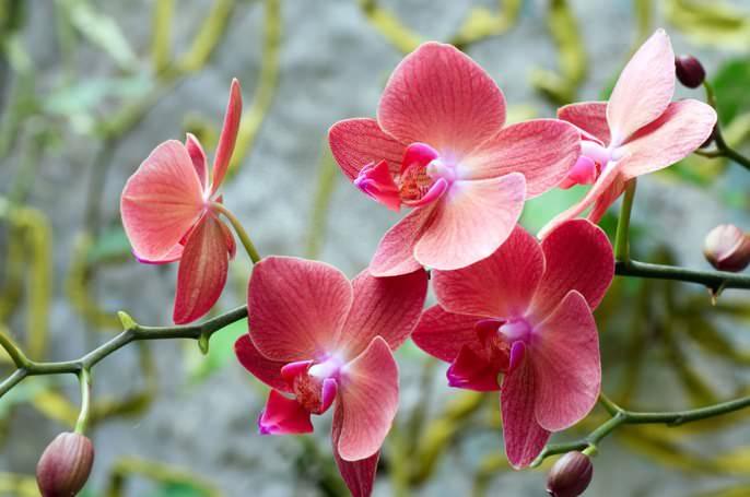 Заставить орхидею цвести по желанию цветовода в определённый срок невозможно