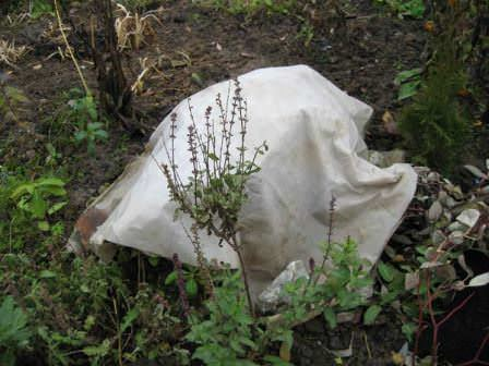 Не стоит укутывать растения на зиму заранее!