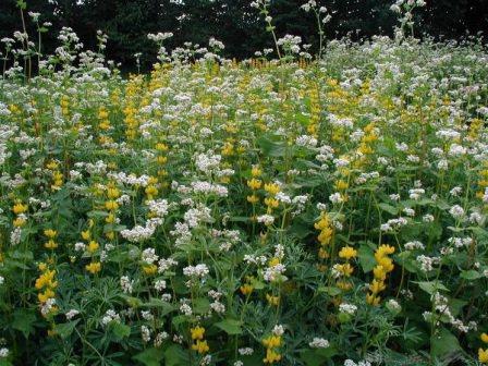 Сидераты — очень полезные растения для вашей дачи!