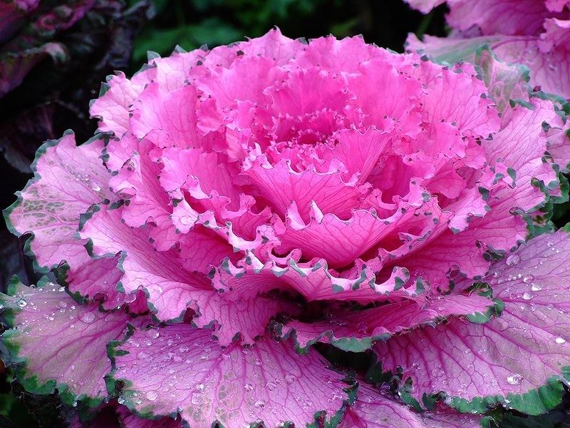 Особенности декоративной капусты
