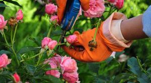 Особенности роз для дачного участка