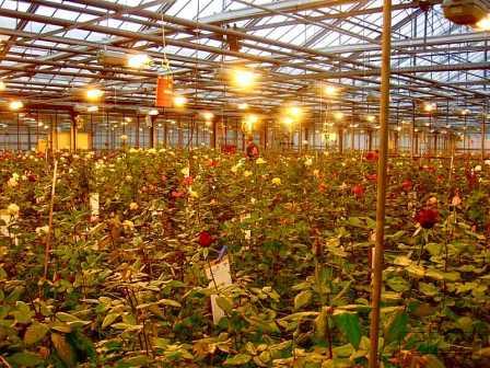 Искусственное освещение в теплице устанавливаетсянад молодыми растениями или рассадой, которой необходимо набраться жизненных сил для дальнейшего развития