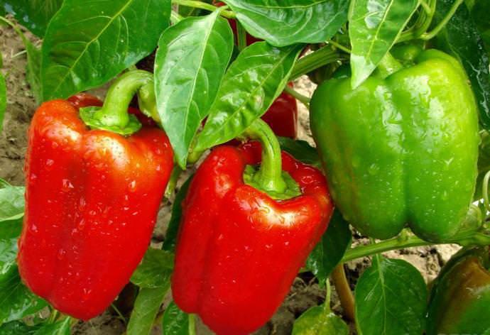 Если вы хотите собрать большой урожай, нужно своевременно подкармливать овощные культуры