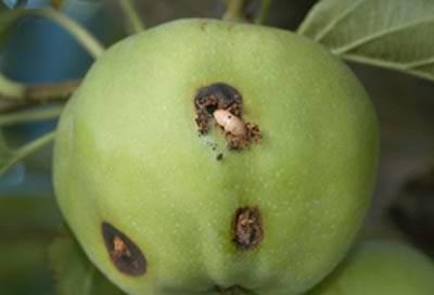 Вредитель яблок плодожорка распространена в основном в нечерноземной зоне