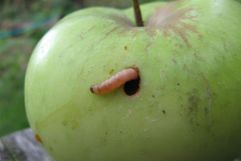 Взрослые гусеницы вырастают до 18 мм в длину и имеют желтоватый или розовый оттенок, а также тёмную голову