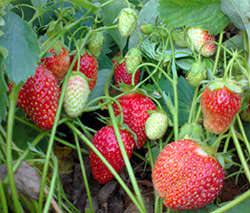 Значительную часть дачных работ в осенний период занимают хлопоты, связанные с подготовкой к зимовке ягодных культур