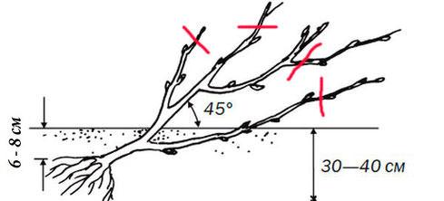 Кусты смородины располагаются в посадочной ямке под небольшим наклоном