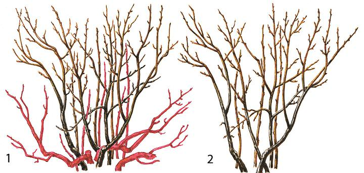 Обрезать смородину можно и осенью и весной