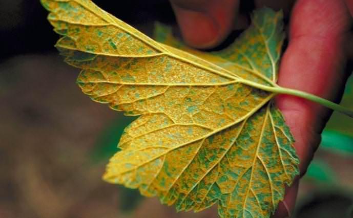 Каждую осень необходимо провести изъятие нижних листиков с явными признаками заболеваний