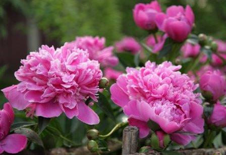 Самый главный цветок мая — пион