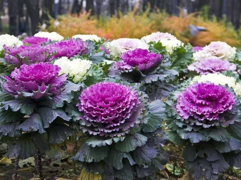 Применение декоративной капусты