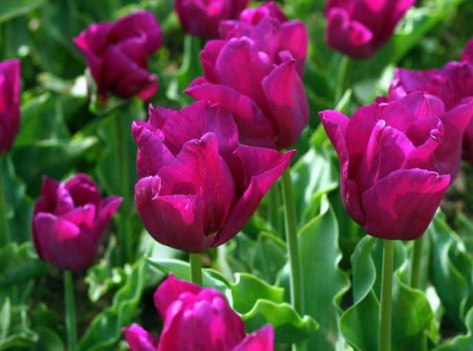 Триумф-тюльпаны рекомендованны для поздних и средних сроков выгонки
