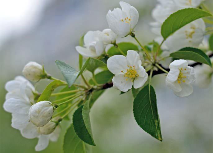 Цветки сорта «Серебряное копытце» достаточно крупные и окрашены в белый цвет