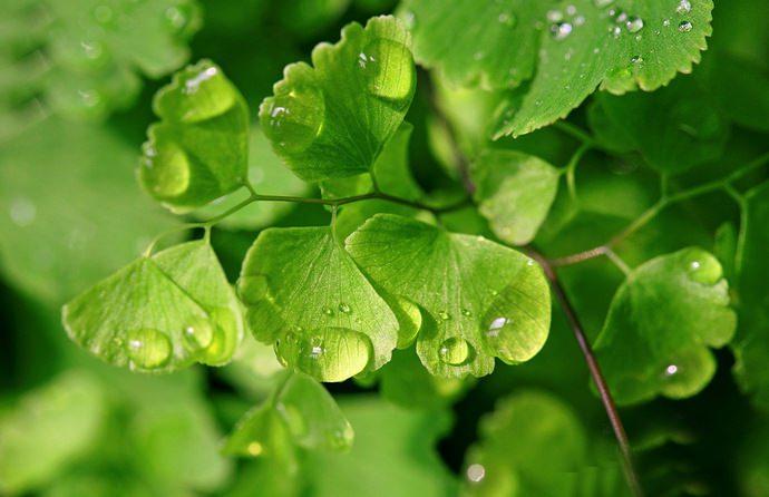 Рекомендуется поливать адиантум достаточно обильно, но без застоя воды в поддоне и уж тем более в почве