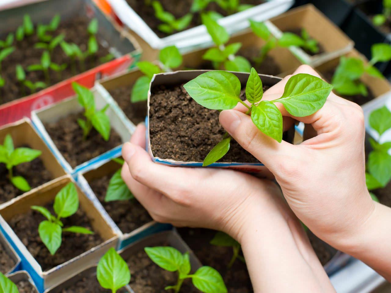 Выращивание овощных культур через рассаду даёт возможность повлиять на сроки появления урожая