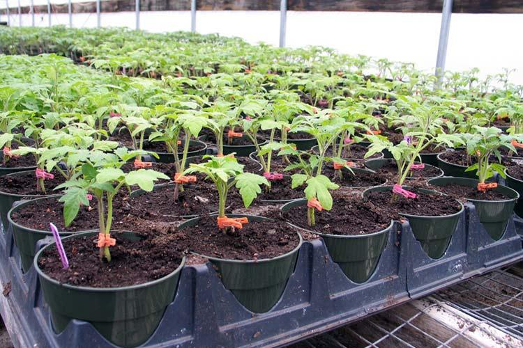 Выращивание рассады позволяет значительно сократить срок выращивания растений непосредственно на грядках