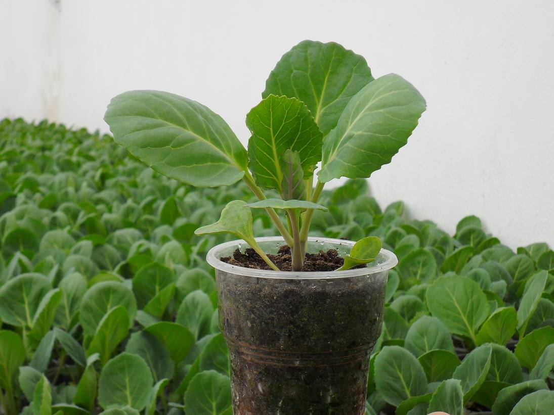 Любые ошибки при выращивании рассады могут отразиться не только на качестве растений, но и значительно снизить урожайность
