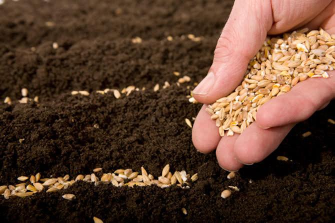 Для выращивания качественной рассады требуется наличие здорового семенного материала