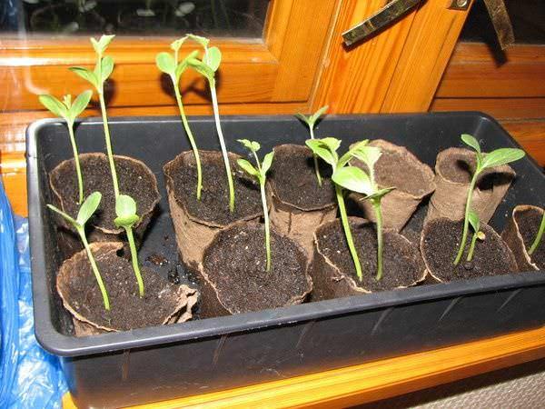Несоблюдение сроков посева семян приводит к получению слабой и вытянутой рассады